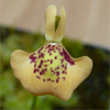 D. tomentosa taxonomy question - last post by Stefan S.