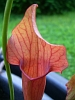 Carnivorous plants on stamps - last post by Braunbear