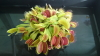 Bugs on my Sauromatum venosum (voodoo lily) Please help! - last post by James 87