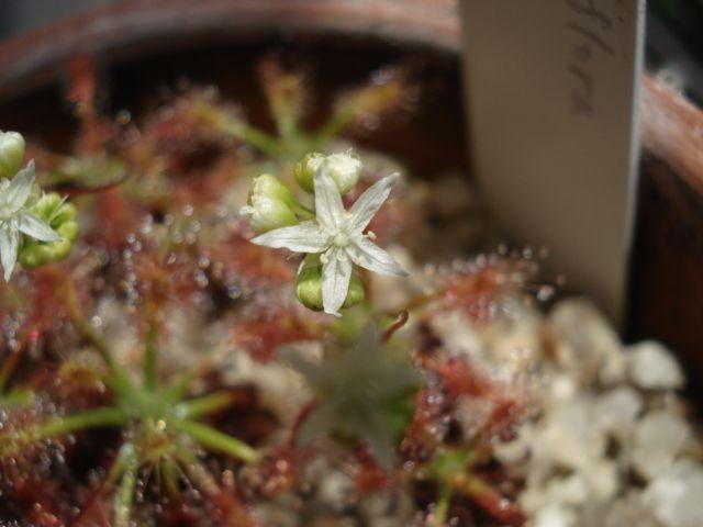 A flower of Drosera stellifora