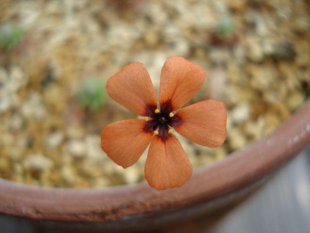 A flower of Drosera hyperostigma