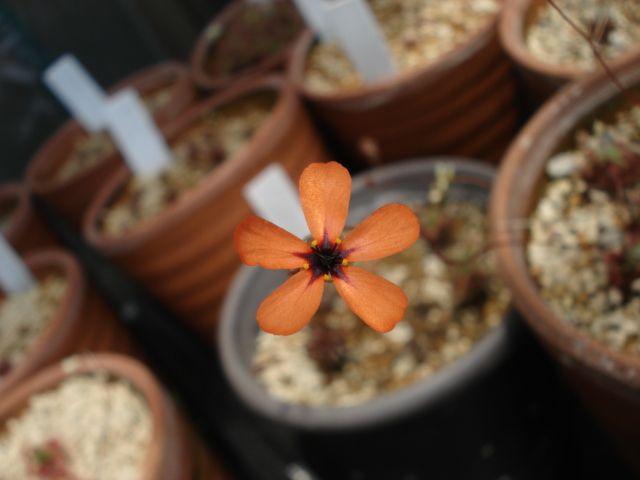 A flower of Drosera callistos