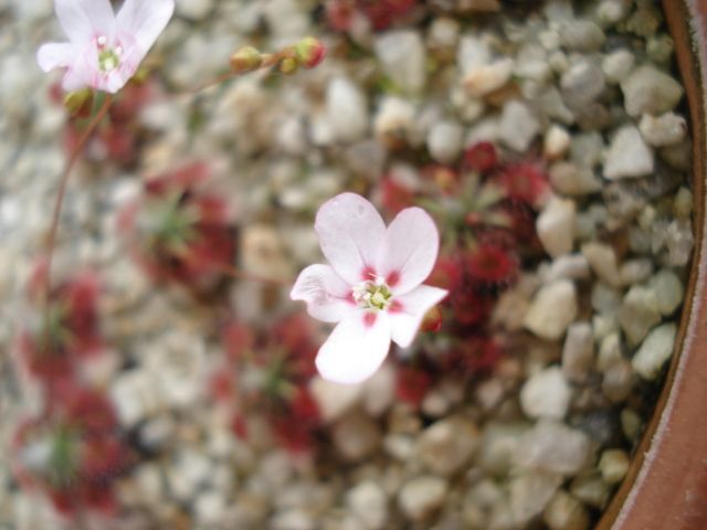 A flower of Drosera aff. spilos ' mini form'