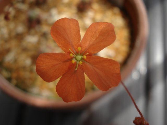A flower of Drosera echinoblastus