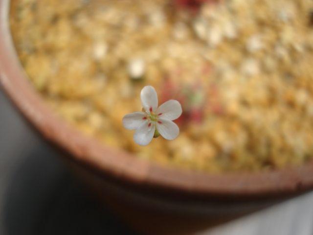 A flower of Drosera parvula subsp. parvula