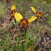 Diuris orientis (typical form) 2646