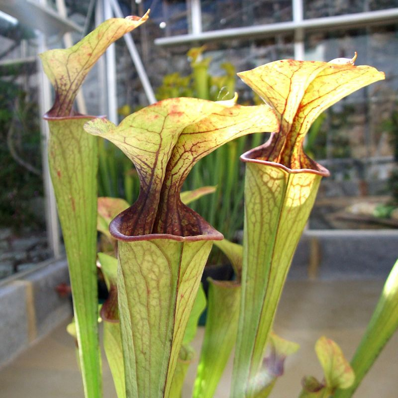 Sarracenia oreophila 'Purple throat'