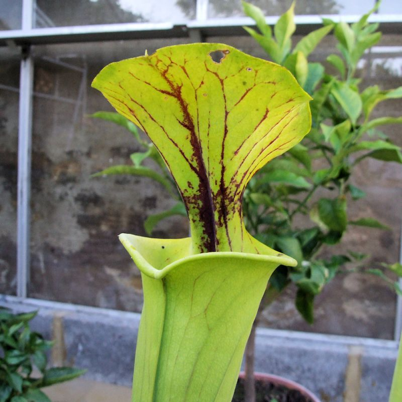 Sarracenia flava cv. 'Maxima' (Adrian Slack's)