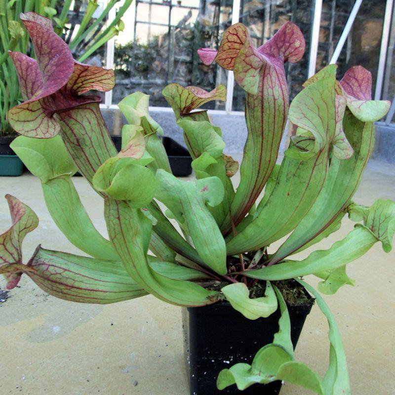Sarracenia pureophila