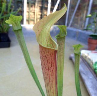 Sarracenia rubra ssp wherryi
