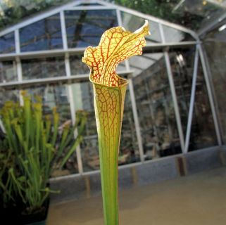 Sarracenia leucophylla X rubra ssp jonesii