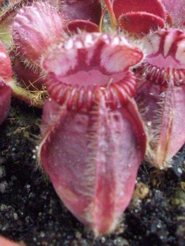 cephalotus follicularis 2