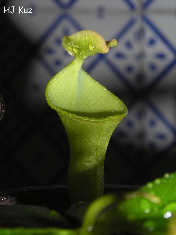 Nepenthes campanulata