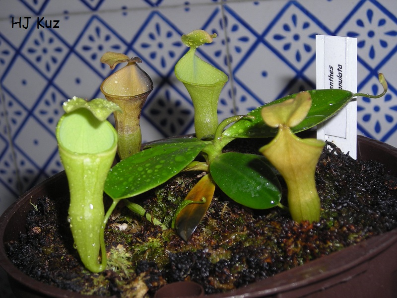 Nepenthes campanulata