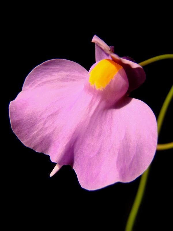 Utricularia longifolia 1