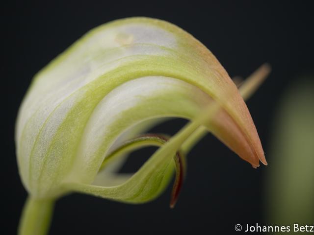 Pterostylis nutans `Alba´ X stricta_-1.jpg