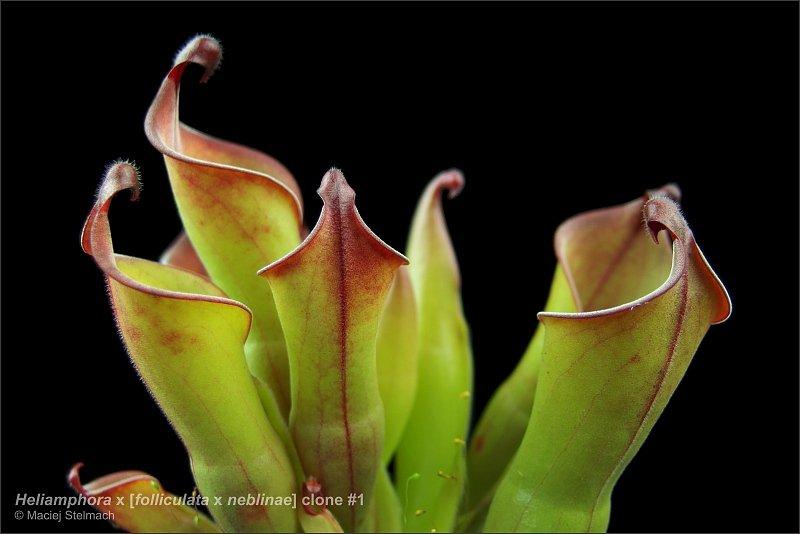 large.heliamphora_folliculata_x_neblinae_clone1_3.jpg