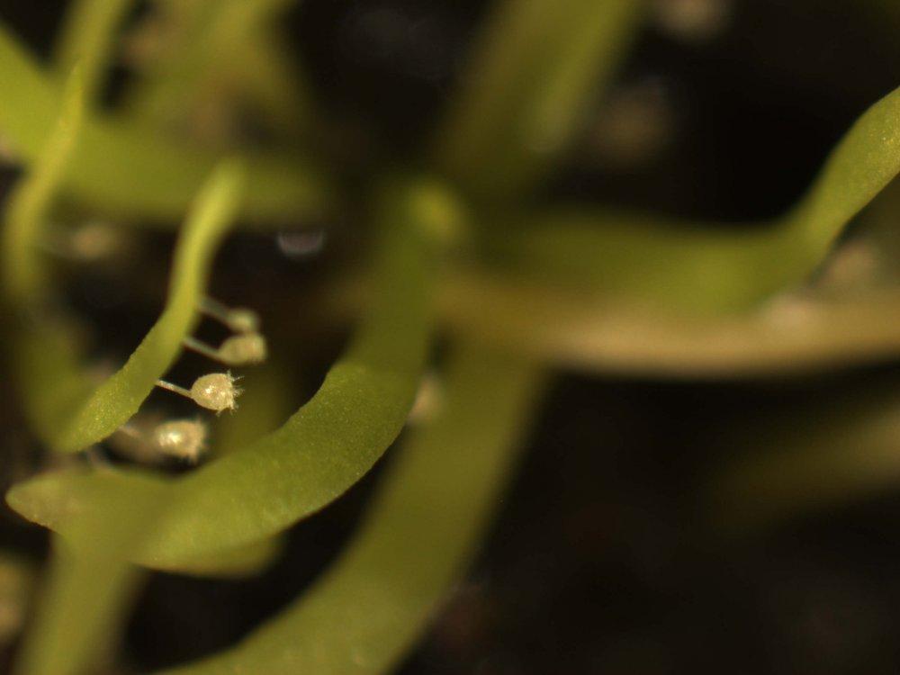 Utricularia sp hermanus 12.jpg