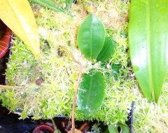 N. lowii x campanulata