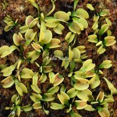 Dionaea green wizard