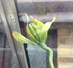 Darlingtonia seed pod