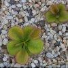Drosera macrophylla aff. ssp. monantha 2 DMAP5.jpg
