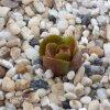 Drosera rosulata awakening DROS3.jpg