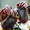 Just got a pair of cephalotus - last post by mobile