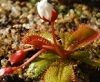 My Roridula gorgonias - last post by werds