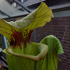 Too early for Sarracenia re-pot? - last post by chj93
