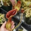 Sarracenia flowers - last post by Nepenthes Lowii
