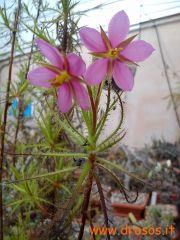 Roridula dentata flowering