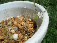 Drosera indica white flower