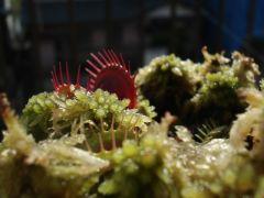 Dionaea muscipula 'Low Giant'