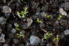 Drosera cuneifolia