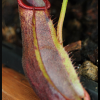 spathulata x mira 29.05.16