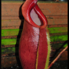 spathulata x mira 19.06.16