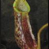 spectabilis x platychila 29.05.16