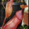 spathulata x glabrata 19.06.16