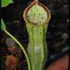 spathulata x campanulata 19.06.16