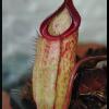 sibuyanensis x hamata 29.05.16