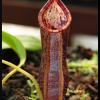 spathulata x spectabilis 18.07.16