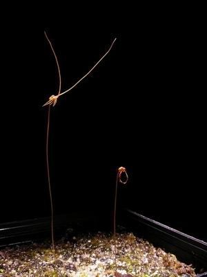 U. capilliflora, Noonamah