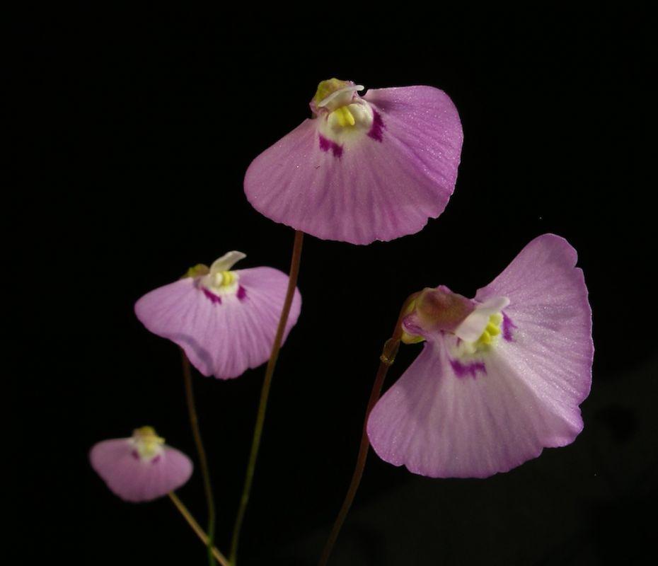 U. uniflora