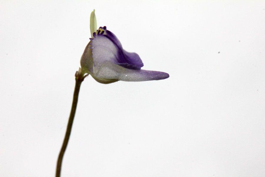 U. arenaria1