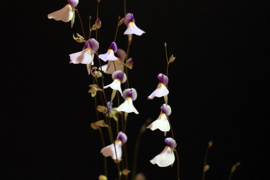 U. blanchetii violett