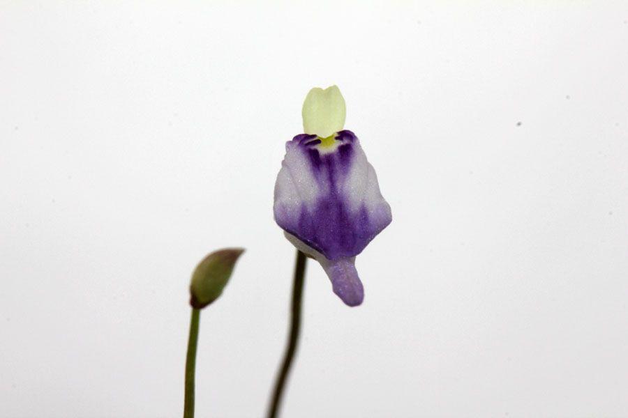 U. arenaria2