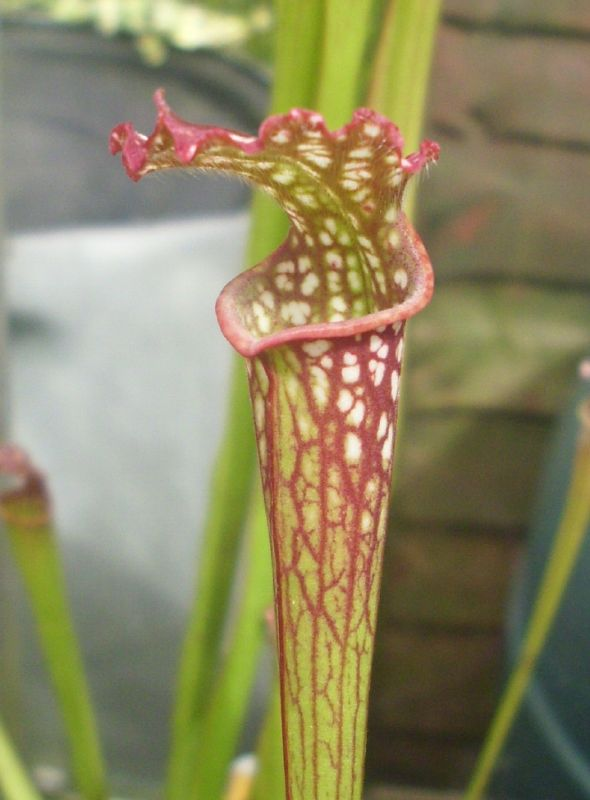S Leucophylla Red Neck