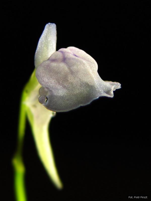 Utricularia graminifolia