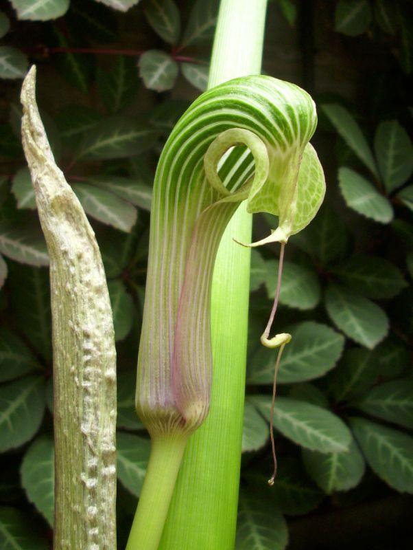 arisaema galeatum (2)